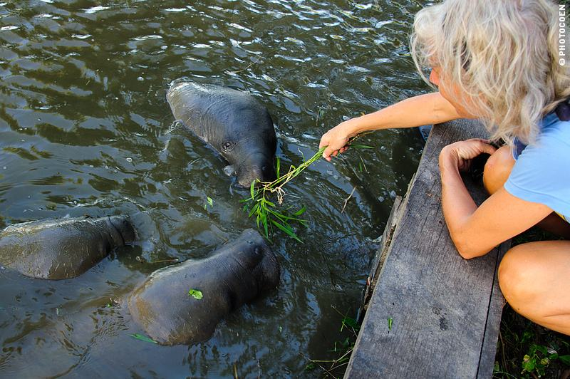 Wildlife in South America: Manatees in Georgetown, Guyana (©photocoen)