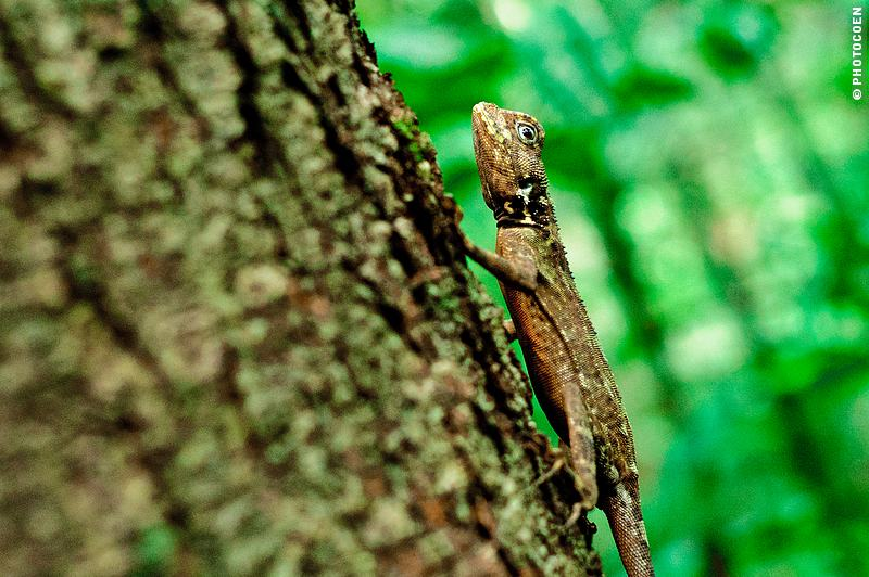 Camouflage Animal in the Amazon Rainforest, French Guiana (©photocoen)