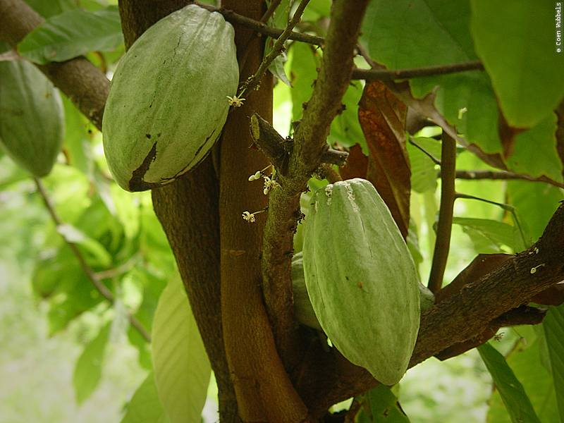 The cacao itself is beautiful to look at