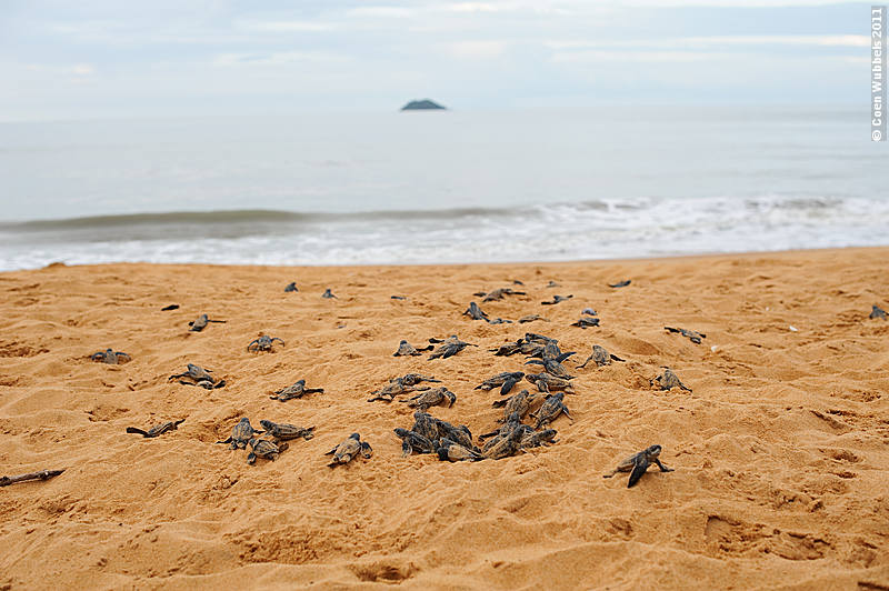 Hatching of Sea Turtles in French Guiana (©photocoen)