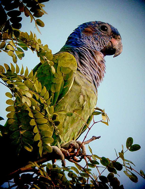 Blue-headed Parrot (©Will Carter)