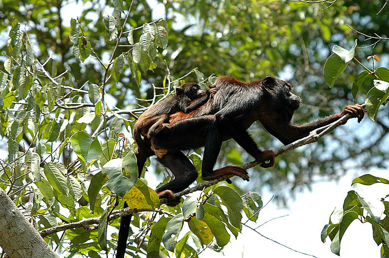 Red-handed howler monkey (©Rudimar Cipriani)