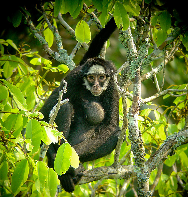 Cristalino Jungle Lodge - White whiskered spider monkey - Will Carter_