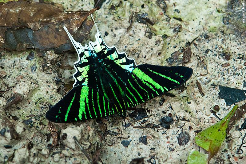 Butterfly in the Brazilian Amazon (©photocoen)