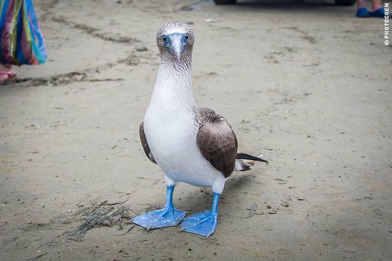 Blue-footed booby in Ecuador (©photocoen)