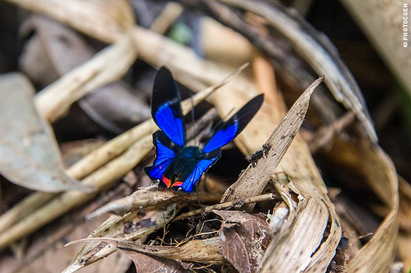 Butterfly, Amazon Ecuador (photocoen)