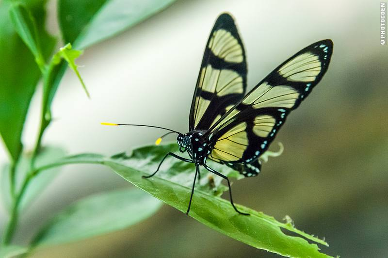Butterfly at La Selva Eco Lodge's Butterfly farm, Ecuador (©photocoen)