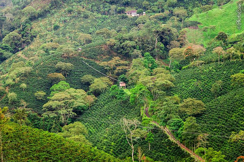 See the tube running above the coffee plants?