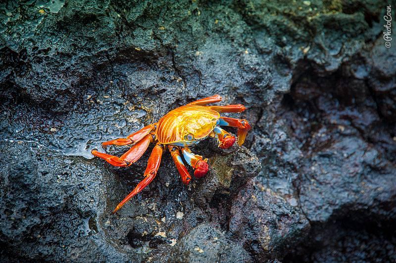 Sally lightfoot crab at Chinese Hat.
