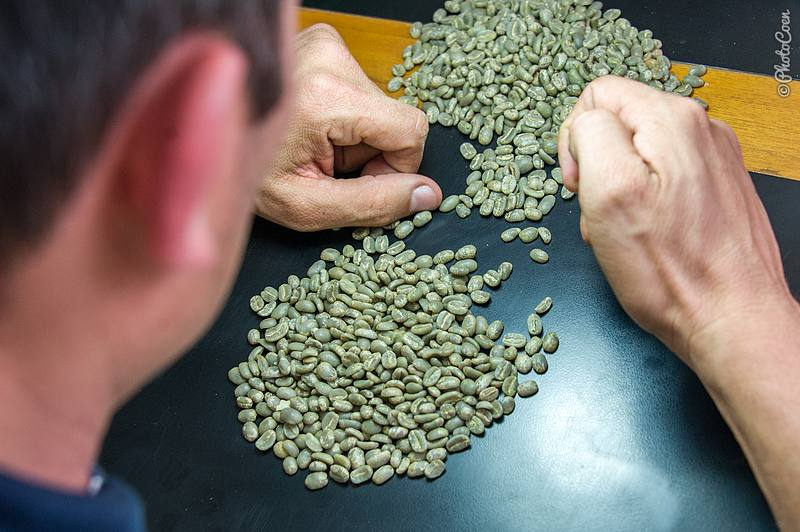 Separating the perfect beans from the damaged beans.