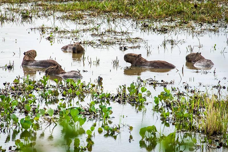 Capybaras at Hato Marisela (former Hato Frío) in Venezuela (©photocoen)