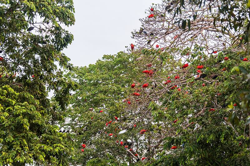 At night thousands of birds sleep in trees around the guestroom. Here hundreds of scarlet ibises. (©photocoen)