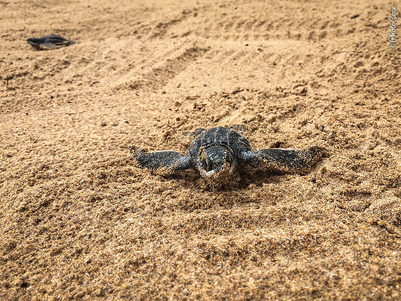 Sea Turtles in Venezuela (©photocoen)