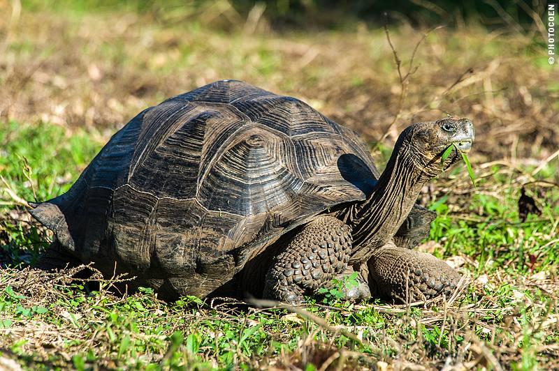 Tortoise, Galápagos Islands (©photocoen)