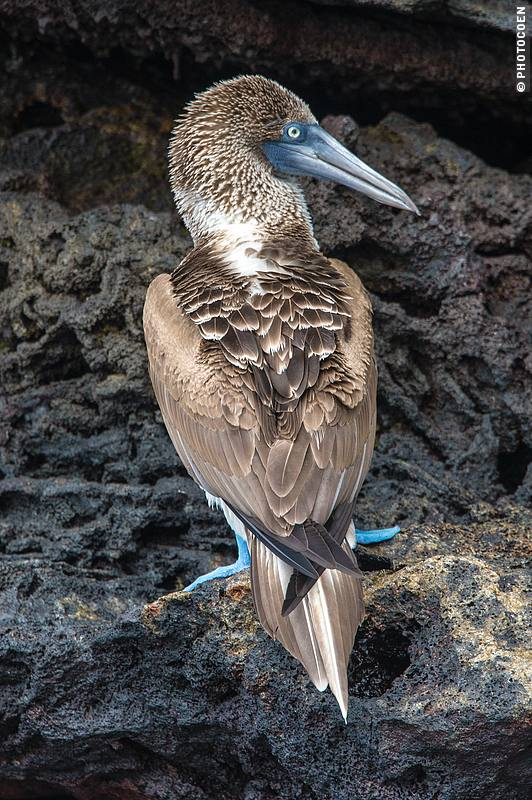 Blue Footed Booby, Galápagos Islands (©photocoen)