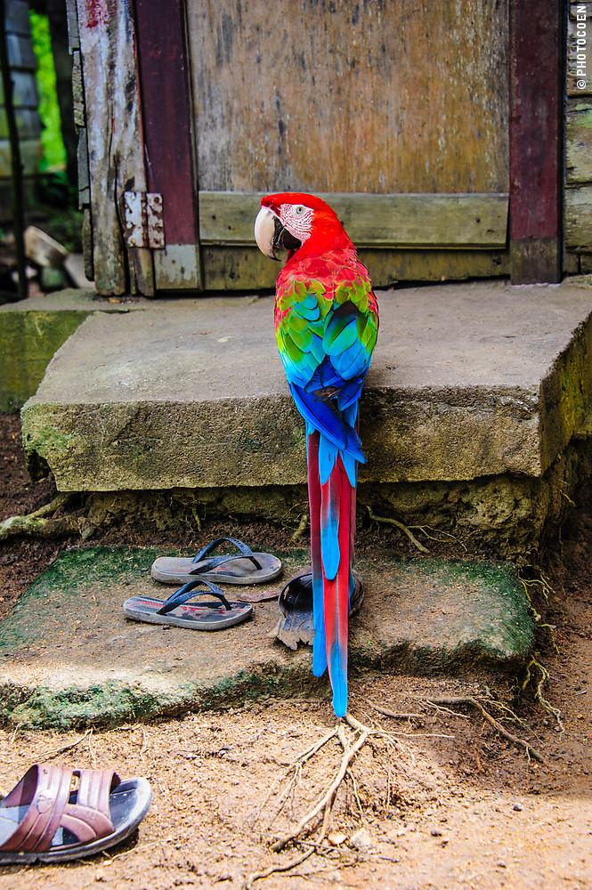 Macaw in Moruca, Guyana (©photocoen)
