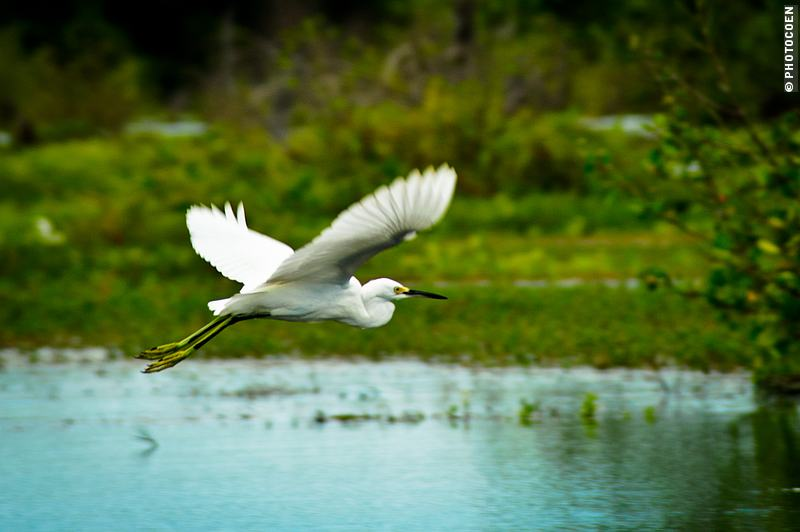 bird watching in Suriname; a white heron skimming over a blue water surface with green vegetation in the background.