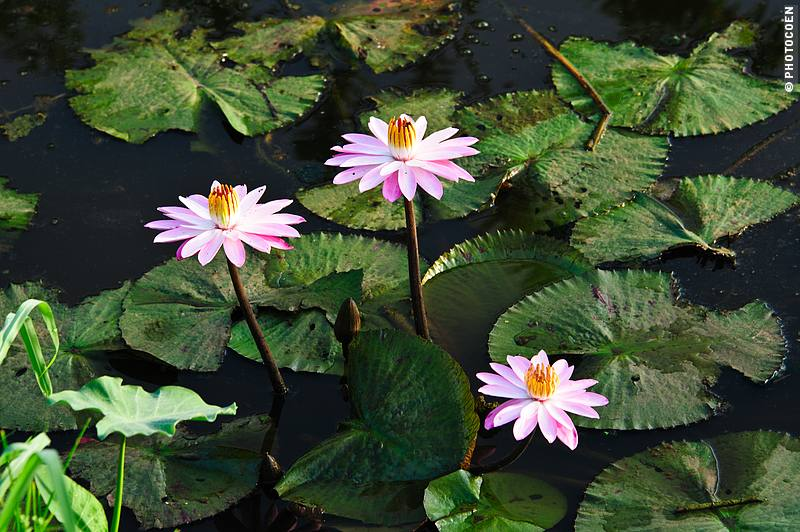 Birth flower  Wikipedia